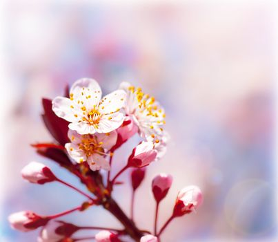 Blooming tree at spring, fresh pink flowers on the branch of fruit tree, plant blossom abstract background, seasonal nature beauty, dreamy border, soft focus picture