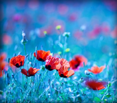 Poppy flower field at night with a dreamy blue cast and selective soft focus, natural background of wild summer nature