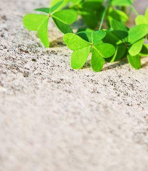 Fresh clover leaves over stone background