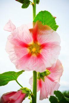 mallow flower on stalk