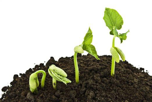 Bean seeds germinating shot