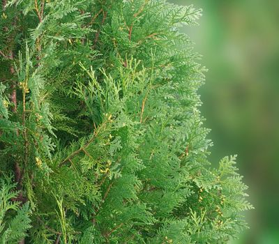The branches of arborvitae