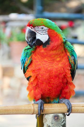 Portrait of a beautiful colorful Macaw parrot close-up