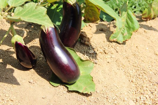 Eggplant fruits growing in the garden close up