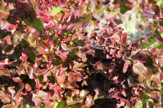 Red lettuce on a garden bed close up