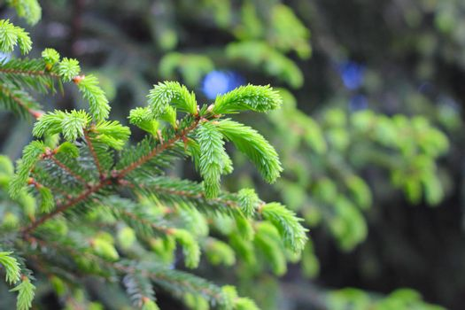Fir tree branch with new sprouts close up