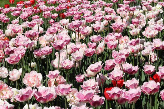 Spring pink blooming tulips garden beautiful background