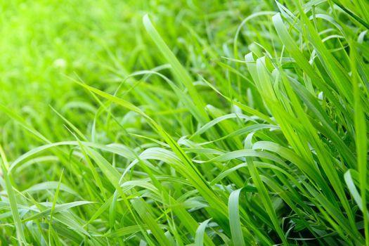 Fresh beautiful green grass background close up