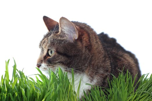 Adult cat in grass isolated on white