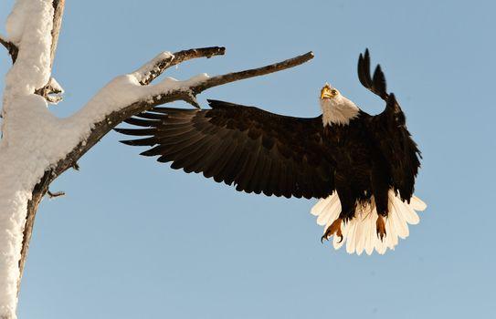 Landing of an eagle.