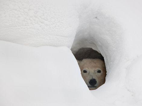 The polar bear in a den