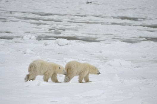 Two cubs of a polar bear