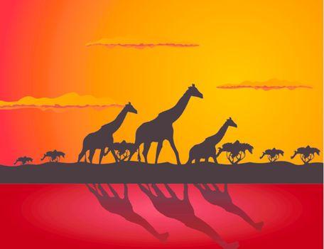 Three giraffes go on savanna. A vector illustration