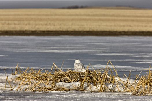 Snowy Owl Perched FrozenPond