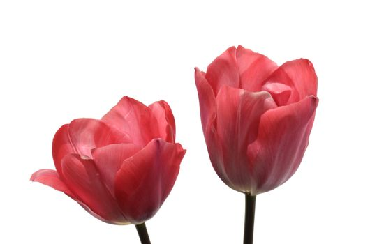 TWO beautiful PINK TULIPS isolated on a white background