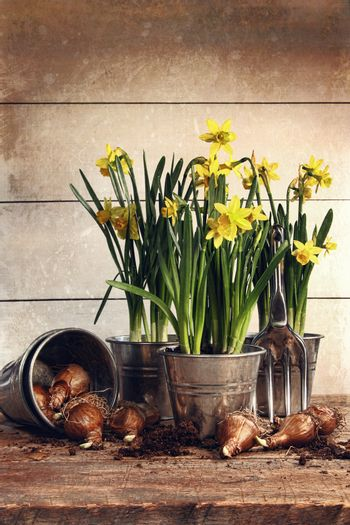 Potted daffodils wirh bulbs for planting