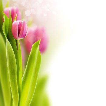fresh tulip