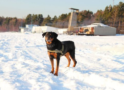 Funny rottweiler standing in winter sunny  landscape