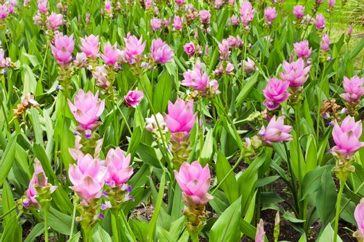 field of siam tulip flowers