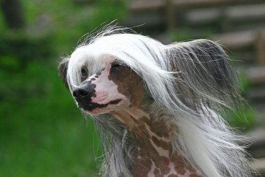 The Chinese Crested Dog outdor foto