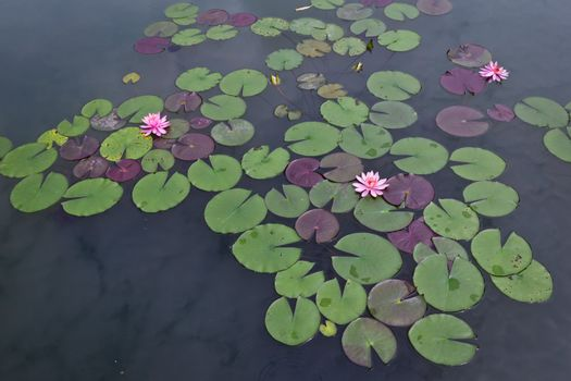 pink water lily and leaf in pond