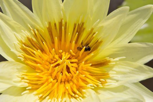 bee in yellow water lily