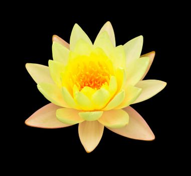 yellow lotus isolated