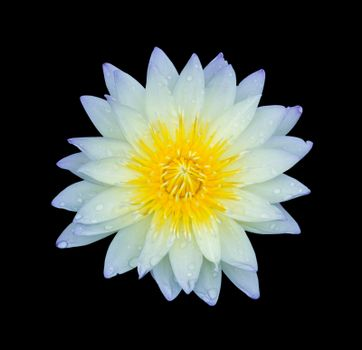 light blue lotus isolated