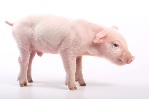 Small pig on white