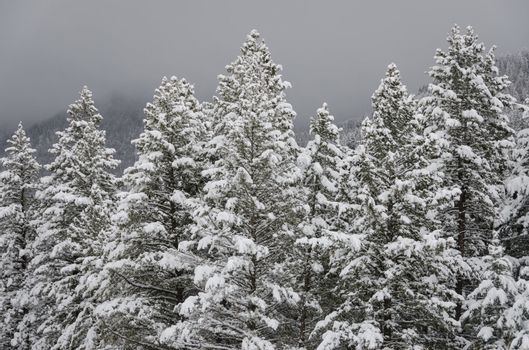 Coniferous forest after heavy snow