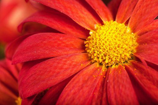 Macro view of red petals of chrysanthemum flower