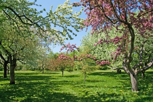 Blooming trees on a green lawn
