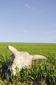 cow cranium in the spring crop field