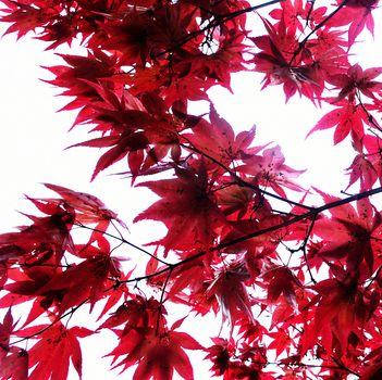 Maple tree, sunlight coming through. Fall season