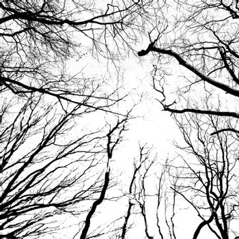 Silhouette of an ancient trees in black and white