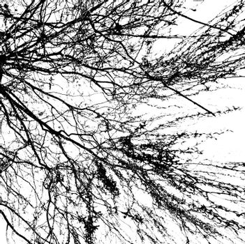 Branches of a tree without leaves in spring on white background