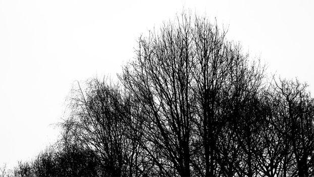 Silhouette of an ancient tree in black and white
