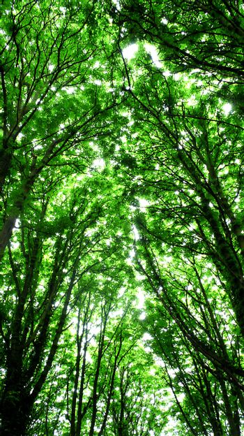 Sun rays coming through tall trees in forest. Go Green