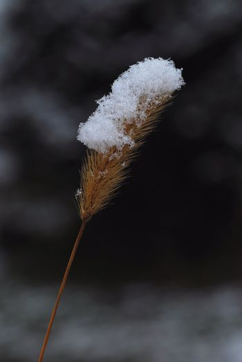 soft brown plant with snow on top in winter