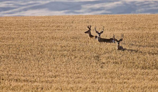 Mule Deer in Wheat Field