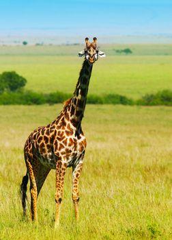 Big wild african giraffe, walking in Savanna, game drive, wildlife safari, animals in natural habitat, beauty of nature, Kenya travel, Masai Mara