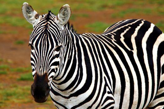 Portrait of African Wild Zebra