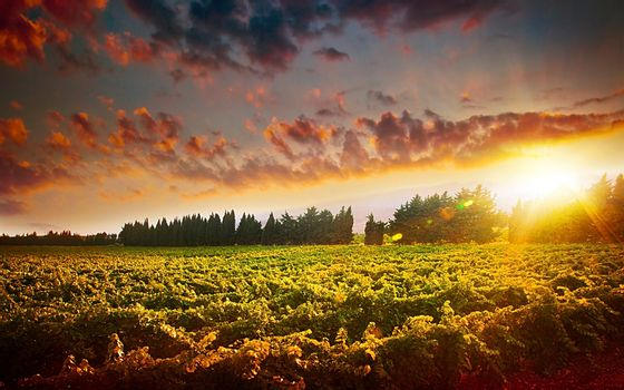 Stunning sunset landscape of grape field, autumn scenic vineyard, bright sky at the valley of grapes, agricultural fruit industry at harvest season, beautiful nature background
