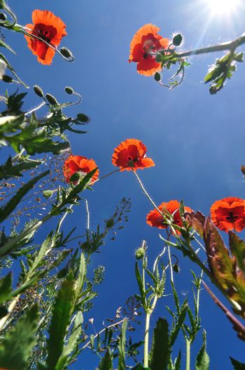 Spring photo: poppies against blue sky