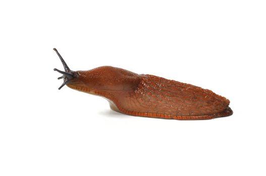 Macro of big Spanish Slug (Arion vulgaris) isolated on white background