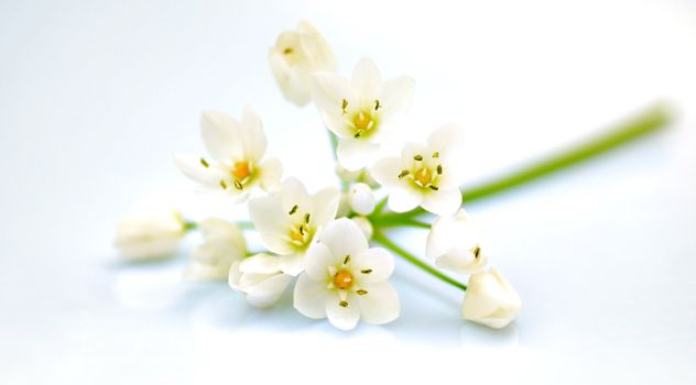 Fresh white spring flowers isolated, selective focus