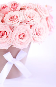 Pot of pink fresh wet roses isolated on white background
