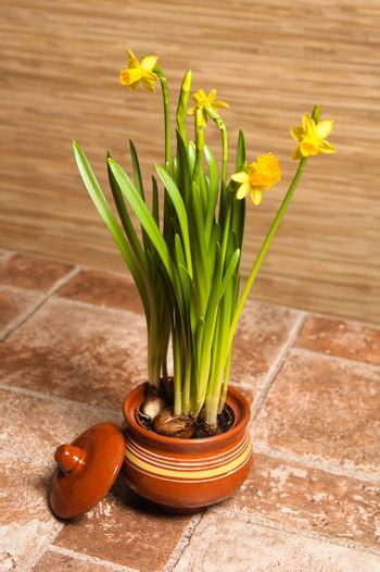 Pot with narcissuses, a close up
