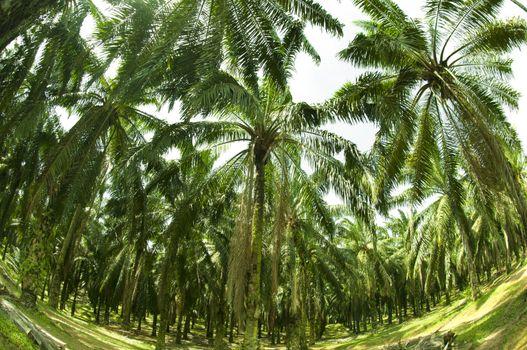 Palm Oil Plantation in Fish eye view
