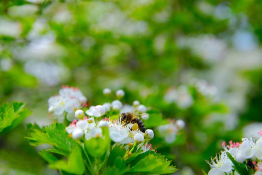 The bee sits on a flower of a bush blossoming hawthorn and pollinates him